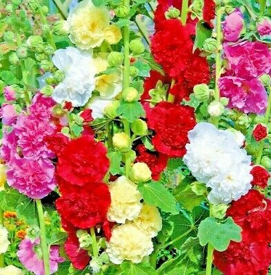 DWARF HOLLYHOCK QUEENY MIX 25 SEEDS Alcea Rosea NON-GMO Open Pollinated USA Fine