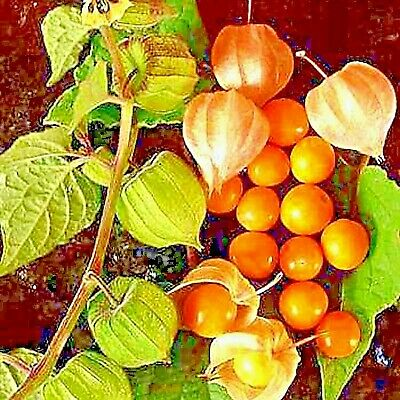 CAPE GOOSEBERRY 75 SEEDS Medicinal Heirloom Physalis peruviana Rare USA Seller