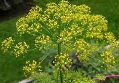 DILL DUKAT 350 SEEDS A. Graveolens Heirloom USA NON-GMO Open Pollinated Bouquet