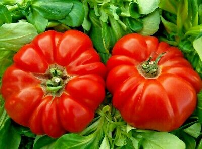 Giant Oxheart Tomato 250+ Seeds Large Tasty Heirloom Non-Gmo Rare Free Shipping