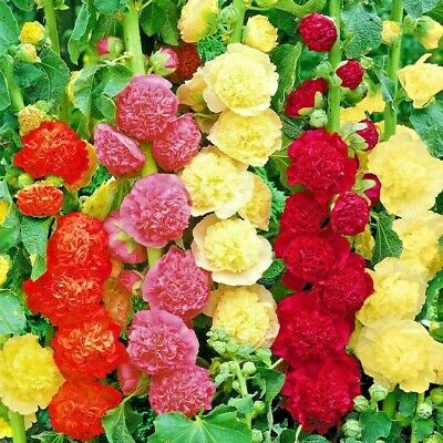 HOLLYHOCK CHATER'S MIX 60 SEEDS Alcea Rosea Double Open Pollinated NON-GMO USA
