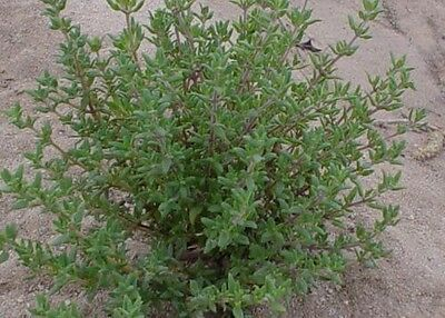 Thyme Winter Herb,100 seeds, Culinary and Medicinal uses