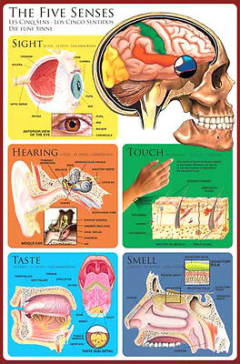 Anatomy of the HUMAN FIVE SENSES Medical Neuroscience Wall Chart Poster