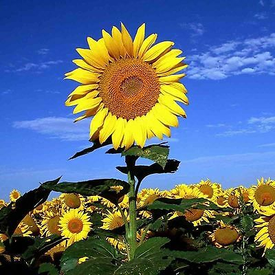STRIPED TALL SUNFLOWER 35 SEEDS Helianthus Mammoth Edible Heirloom USA Seller