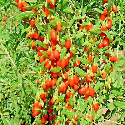 Goji Berry 50 Seeds Chinese Wolfberry Perennial Herbal Hedge Super Fruit Usa