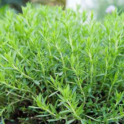 TARRAGON 800 SEEDS Artemisia Dracunculus Anise Gourmet NON-GMO Heirloom USA Herb