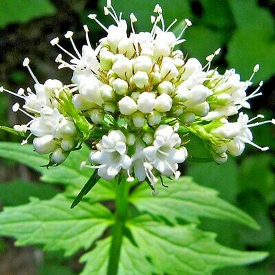 VALERIAN  150 SEEDS Herb Sedative Catnip Container Gardening Wet Soil USA Seller