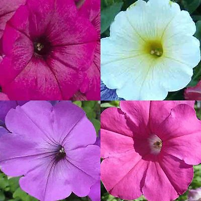 PETUNIA HYBRIDA MIX 600 SEEDS Hanging Baskets Containers Trailing Cascading USA