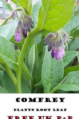 10 Comfrey Root Bocking 14 Russian Organic Herb  Rooted Crown Cuttings Free P+P