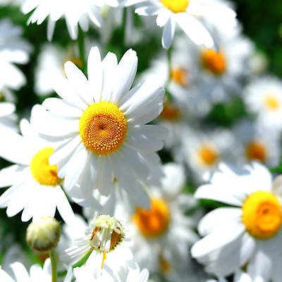 2000 Chamomile Seeds Free Shipping Daisy Sedative Easy Herb Non-Gmo Heirloom Usa