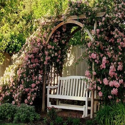 Climbing Plant Rose Plant Climbing Pinkie Thornless Rose Arbour Arch Shed