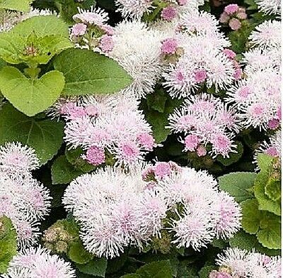 """Ageratum houstonianum """"Hawaii Shell Pink"""".x 50 seeds. Flower. Gift in store."""