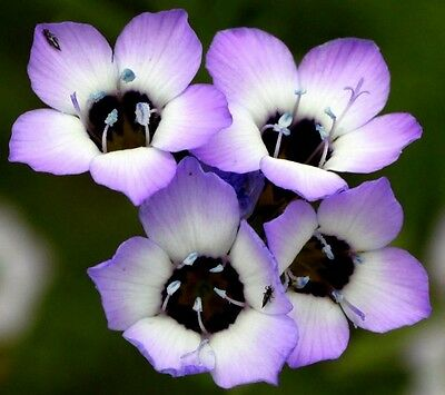 Gilia tricolor (Bird's Eyes) x 100 seeds. Gift in store