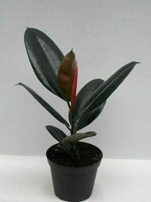 Rubber Plant Ficus elastica 'Abidjan in a 12cm pot.  Rarely offered