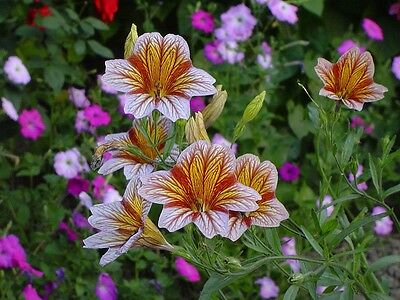 Salpiglossis Superbissima Mix x 50 seeds  + 1 for free.  Flowers. Gift in store.