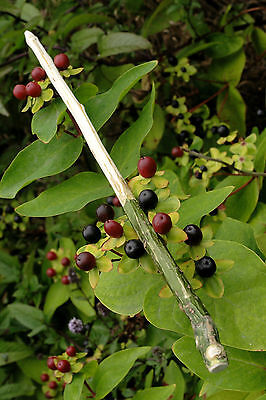 Holly Wand - shamanic extraction, Wiccan & Druid ritual