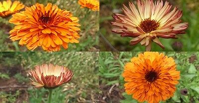 """Calendula """"Touch Of Red Mix"""" x 50 seeds. Gift in store."""
