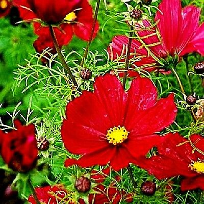 """Cosmos bipinnatus """"Dazzler"""" x 50 seeds. Very easy to grow. Gift in store."""