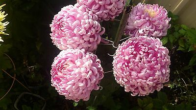 "Chrysanthemum  ""Doreen Hall"" x 1 plant. Large intermediate. Mid-season"