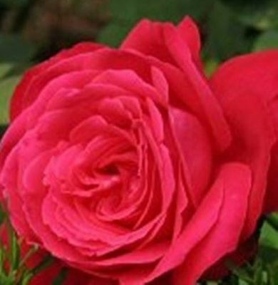 BARE ROOT Alecs Red Hybrid Tea Rose - Double Flowering HT Rose Rosa