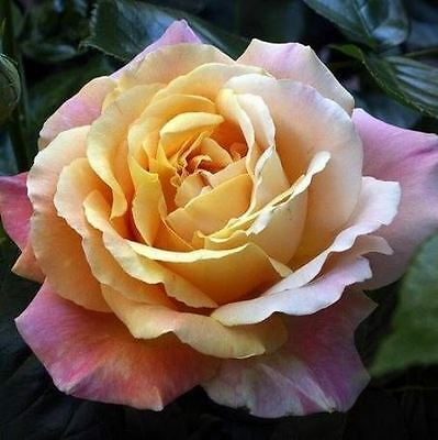 BARE ROOT Peace Hybrid Tea Rose - Fragrant HT Rose Rosa - Popular HT Roses