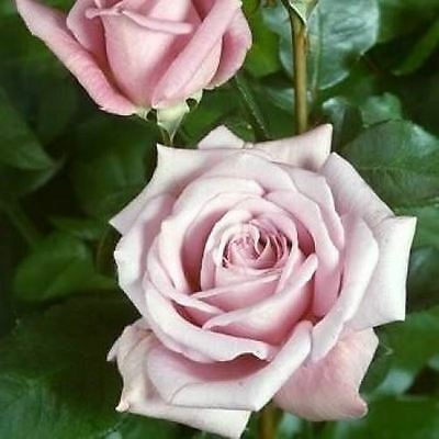 BARE ROOT Royal Airforce Hybrid Tea Rose - Striking Pink Blue Flowering HT Rose