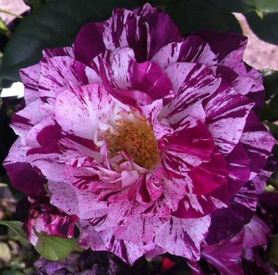 BARE ROOT Purple Tiger Floribunda Rose - Semi Double Vibrant Fragrant Rose Rosa