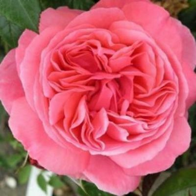 BARE ROOT Special Anniversary Hybrid tea Rose -  Anniversary Gift Present