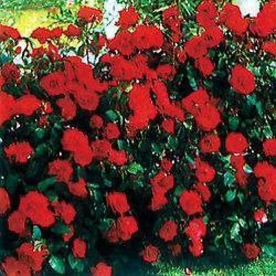 BARE ROOT Stromboli Floribunda Rose - Hedging Rose - Red Flowering Rose Rosa