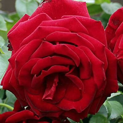 BARE ROOT Crimson Cascade Climbing Rose - Vigorous Climbing Climber Rose