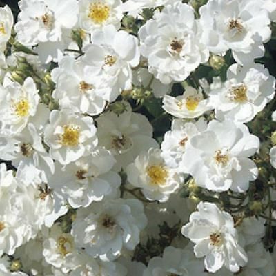 BARE ROOT Seagull Rambling Rose - White Rambler Climbing Rose