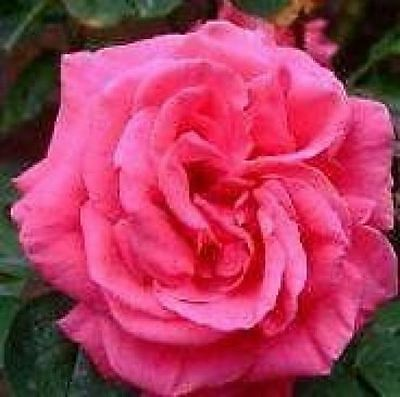 BARE ROOT Leaping Salmon Climbing Rose - Fast Growing Fragrant Climber Rose