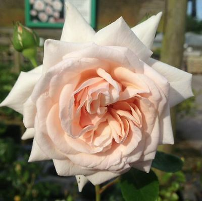 BARE ROOT Penny Lane Climbing Rose - Pink Flowering Climbing Rose Rosa