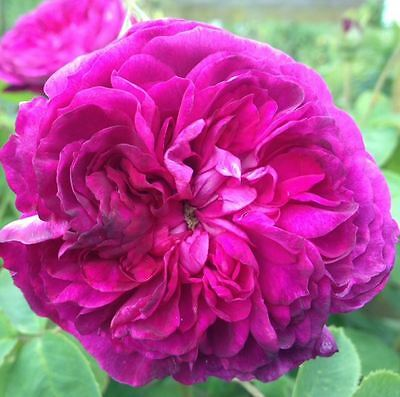 BARE ROOT Reine des Violettes Old English Rose - Scented Rose Rosa