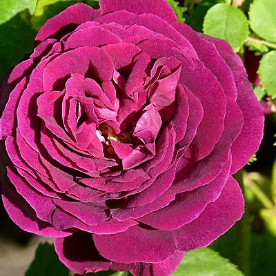 BARE ROOT Souvenir du Doctor Jamain Rose - Fragrant Old English Rose