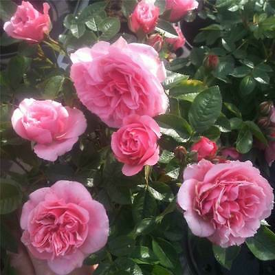 BARE ROOT Pretty Polly Patio Rose - Miniature Patio Rose Roses