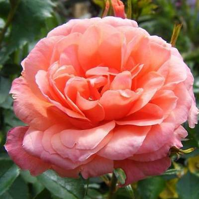 BARE ROOT Sweet Dream Patio Rose - Miniature Patio Rose Roses