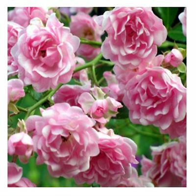 BARE ROOT The Fairy Ground Cover Rose - Low Growing Pink Rosa