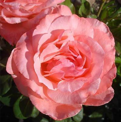 BARE ROOT Queen Elizabeth Climbing Rose - Free Flowering Climbing Pink Rosa