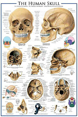 ANATOMY of THE HUMAN SKULL Medical Science Wall Chart POSTER