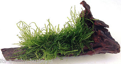 Stringy Moss Leptodictyum Riparium on Bog wood Aquatic Plant Fresh Water java