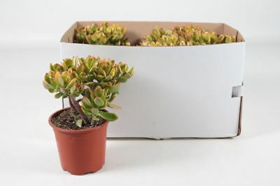 Crassula ovata 'Hummel's Sunset' house plant in 17cm pot.  Money Plant Jade tree