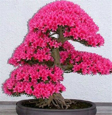 Japanese Cherry Blossom Seeds Bonsai Flower Plant Tree 10PCS Plants, Seeds Bulbs