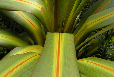 Cordyline Indivisa Palm Tree Fresh Seeds Free Post