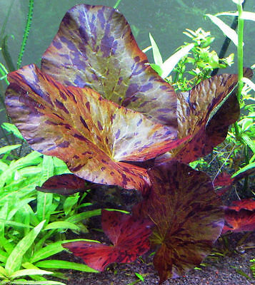 Red + Green Tiger Lotus bulbs Nymphaea Zenkeri Live Aquarium Plant Shrimp