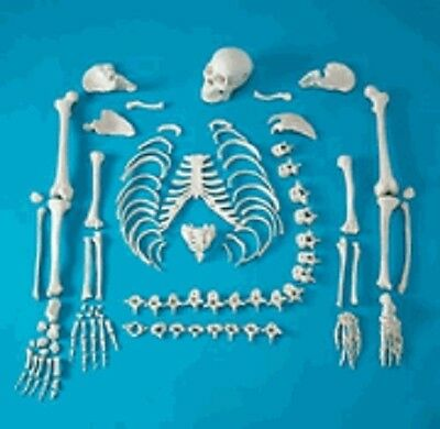NEW LIFESIZE FULL DISARTICULATED HUMAN SKELETON w/SKULL ANATOMICAL ANATOMY MODEL