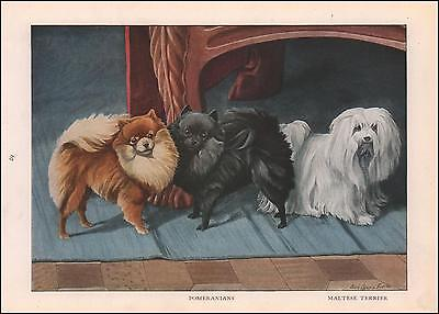 POMERANIAN & MALTESE TERRIER DOGS by LOUIS A FUERTES, vintage print 1919