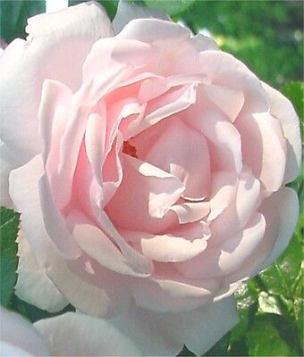 Rose plant New Dawn Pink Rose Garden Security Safety Protection Garden Landscape