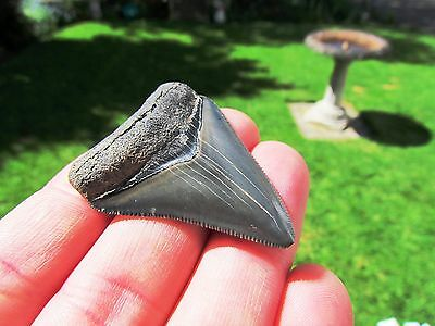 Nice Neat Megalodon Fossil Shark Tooth With Stunning Quality