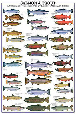 Sport Fly Fishing SALMON AND TROUT 17 Species Wall Chart POSTER